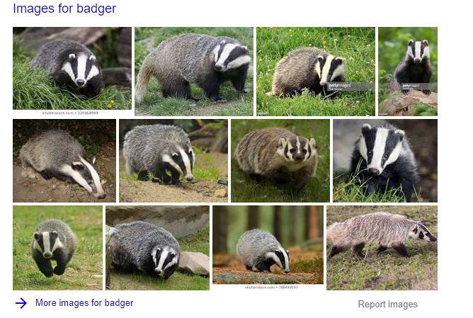 Example of the Google image SERP feature, showing images of badgers